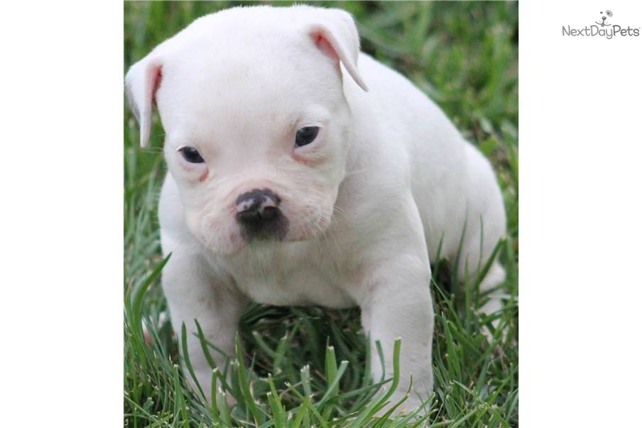 White American Pit Bull Terrier Puppies