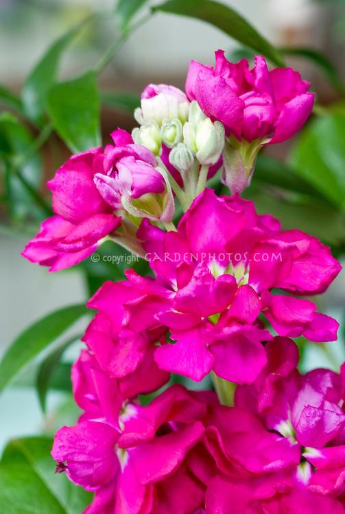 Flowering Stock Flowers